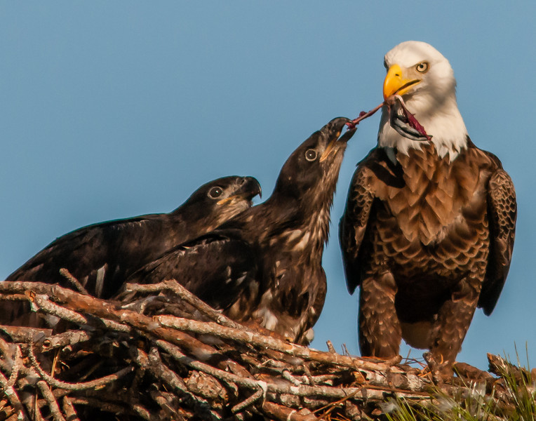 Activities in the Bald Eagle's nest located not far from where I live.