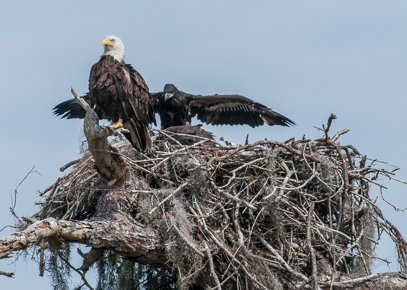 • Kenansville.'s Eagle's Nest • One of the checks showing off its wings.