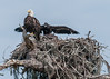 • Kenansville.'s Eagle's Nest<br /> •One of the checks showing off its wings.