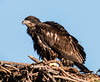 • Melbourne Eagle's Nest • This Eaglet is surely getting big
