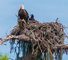 • Kenansville.'s Eagle's Nest • This Eagle's nest is located about 1.25 miles north Arnold Road on State Rd 523 (S Canoe Creek Rd) in Kenansville. •  An adult and one of the Eagle's chicks