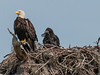 • Kenansville.'s Eagle's Nest • One of the Eagle parents with its two chicks.