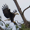 Eagle with a Coot