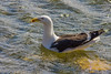 Kelp Gull, Stanley Harbor, Falkland Islands