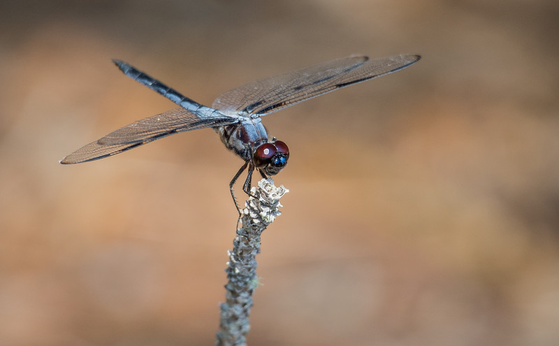 Bar-winged Skimmer (male) (Libellula axilena)