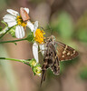Long-tailed Skipper and Shield Bug on Bidens alba (Spanish Needles)