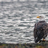 A Bald Eagle's Reflections<br /> Homer Spit<br /> Homer, AK<br /> © 2014