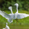 Snowy Egret Interaction<br /> Orlando Wetlands Park<br /> Florida<br /> © 2014
