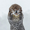 Dusky Grouse Close Up Yellowstone National Park Wyoming © 2014