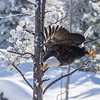 Bald Eagle Launches In Flight Yellowstone National Park Wyoming © 2014