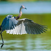 On the Go Reddish Egret Eco Pond, Everglades National Park Florida © 2014