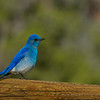 Mountain Bluebird<br /> Arches National Park<br /> Utah<br /> © 2014
