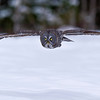 Great Gray Owl Inflight Ottawa, Ontario Canada © 2013
