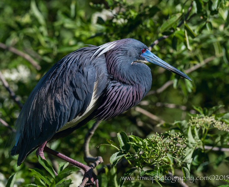 Tri-Colored Heron<br /> Showing off full breeding colors and plumage<br /> Alligator Farm, St. Augustine, FL<br /> © 2015