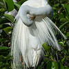 Great White Egret Preening<br /> Wakodahatchee Wetlands<br /> Delray Beach, FL<br /> © 2015
