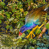 Purple Gallinule<br /> Green Cay Wetlands<br /> Boynton Beach, Florida<br /> © 2014