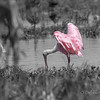 The Heart of the Roseate Spoonbill Orlando Wetlands Park Orlando, Florida © 2014