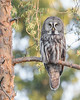 "This photograph of a Great Grey Owl was captured in the Oulu area of Finland (6/15). <FONT COLOR=""RED""><h5>This photograph is protected by International and U.S. Copyright Laws and shall not to be downloaded or reproduced by any means without the formal written permission of Ken Conger Photography.<FONT COLOR=""RED""></h5>"