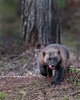 "This photograph of a Wolverine was captured south of Lieksa in Finland (6/15). <FONT COLOR=""RED""><h5>This photograph is protected by International and U.S. Copyright Laws and shall not to be downloaded or reproduced by any means without the formal written permission of Ken Conger Photography.<FONT COLOR=""RED""></h5>"