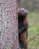 """This photograph of a Wolverine was captured south of Lieksa in Finland (6/15). <FONT COLOR=""""RED""""><h5>This photograph is protected by International and U.S. Copyright Laws and shall not to be downloaded or reproduced by any means without the formal written permission of Ken Conger Photography.<FONT COLOR=""""RED""""></h5>"""