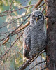 "This photograph of a Great Grey Owl chick was captured in the Oulu area of Finland (6/15). <FONT COLOR=""RED""><h5>This photograph is protected by International and U.S. Copyright Laws and shall not to be downloaded or reproduced by any means without the formal written permission of Ken Conger Photography.<FONT COLOR=""RED""></h5>"