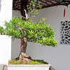 Bonsai Tree - Dr. Sun Yat-Sen Classical Chinese Garden, Vancouver, British Columbia, Canada