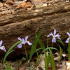 The Crested Dwarf Iris are one of my favorite spring wildflowers.