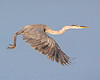 "This photograph of a flying Great Blue Heron was captured in Ding Darling National Wildlife Refuge, Florida (8/14). <FONT COLOR=""RED""><h5>This photograph is protected by the U.S. Copyright Laws and shall not to be downloaded or reproduced by any means without the formal written permission of Ken Conger Photography.<FONT COLOR=""RED""></h5>"