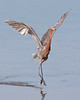 "This photograph of a dancing Reddish Egret was captured in Ding Darling National Wildlife Refuge, Florida (8/14). <FONT COLOR=""RED""><h5>This photograph is protected by the U.S. Copyright Laws and shall not to be downloaded or reproduced by any means without the formal written permission of Ken Conger Photography.<FONT COLOR=""RED""></h5>"