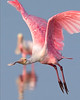 "This photograph of a flying Rosette Spoonbill  was captured in Ding Darling National Wildlife Refuge, Florida (8/14). <FONT COLOR=""RED""><h5>This photograph is protected by the U.S. Copyright Laws and shall not to be downloaded or reproduced by any means without the formal written permission of Ken Conger Photography.<FONT COLOR=""RED""></h5>"