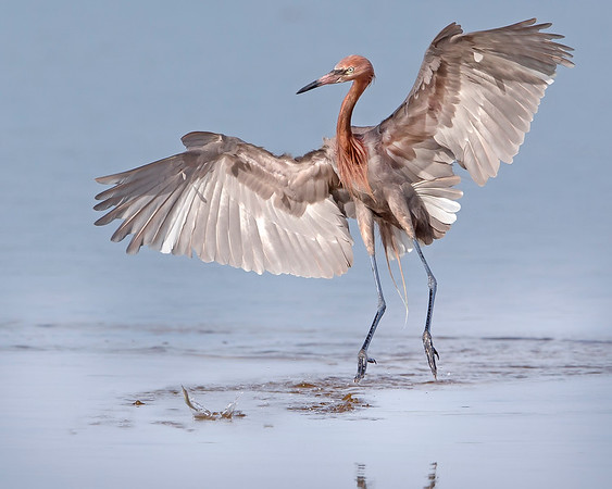 """This photograph of a flying Reddish Egret after fish was captured in Ding Darling National Wildlife Refuge, Florida (8/14). <FONT COLOR=""""RED""""><h5>This photograph is protected by the U.S. Copyright Laws and shall not to be downloaded or reproduced by any means without the formal written permission of Ken Conger Photography.<FONT COLOR=""""RED""""></h5>"""