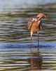 "This photograph of a Reddish Egret with a recently caught fish was captured in Ding Darling National Wildlife Refuge, Florida (8/14). <FONT COLOR=""RED""><h5>This photograph is protected by the U.S. Copyright Laws and shall not to be downloaded or reproduced by any means without the formal written permission of Ken Conger Photography.<FONT COLOR=""RED""></h5>"