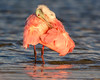 "This photograph of a preening Rosette Spoonbill  was captured in Ding Darling National Wildlife Refuge, Florida (8/14). <FONT COLOR=""RED""><h5>This photograph is protected by the U.S. Copyright Laws and shall not to be downloaded or reproduced by any means without the formal written permission of Ken Conger Photography.<FONT COLOR=""RED""></h5>"