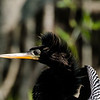 Anhinga, Circle B Bar Reserve