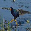 Purple Gallinule, Circle B Bar Reserve