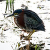 Green Heron, Circle B Bar Reserve