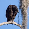 Black Vulture, Circle Bar B Reserve