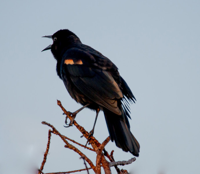 Red-winged Blackbird at Sunrise, Circle B Bar Reserve