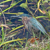 Green Heron in Everglades National park