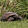2008-gopher tortoise_Egmont Key