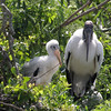 2012- woodstork and chick- Gatorland rookery- April_292