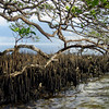 2009- black mangroves-Emerson Point_summer