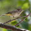 2012- Palm warbler_ Ft Taylor- Key West- April