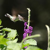 2012- ruby throated hummingbird- Parrish backyard