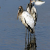 2008-woodstork youngsters_Ding Darling NWR