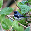 2012- black-throated blue warbler- Ft Desoto- April