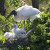 2012- woodstork and chicks- Gatorland rookery- April