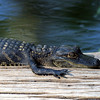 2007-youngster alligator_Corkscrew Swamp