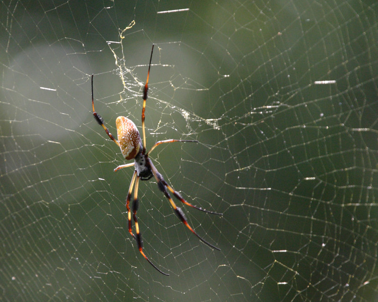 2012- golden orb weaver spider- Ft Desoto