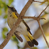 2012- American redstart- female- Ft Taylor Key West- April